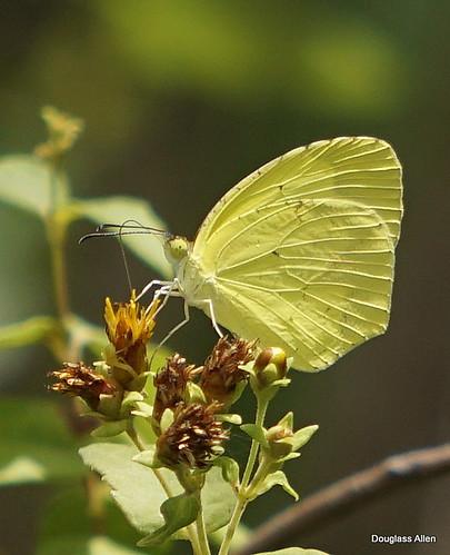 male Dina Yellow, Cozumel