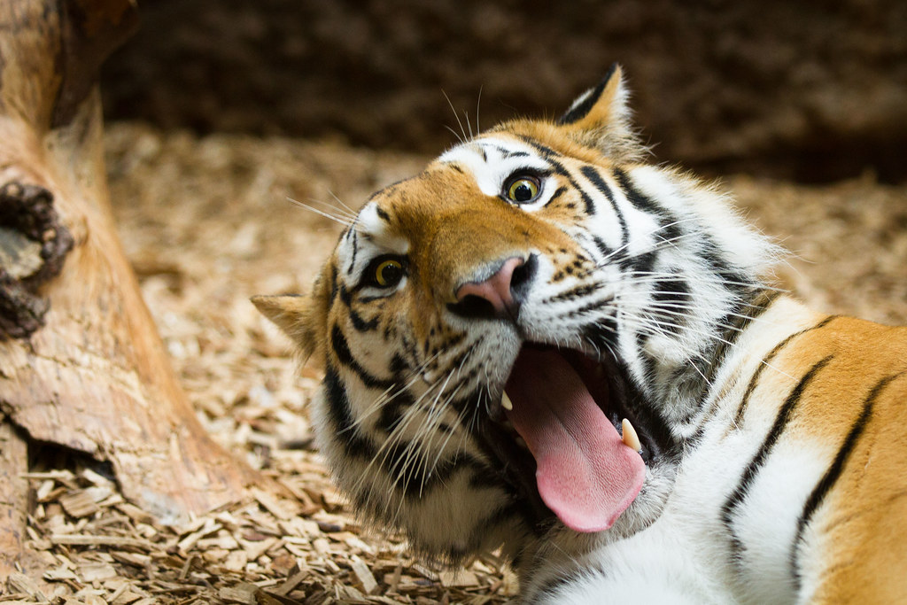 Funny Tiger Pic From Samur The Male Amur