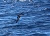 Newell's Shearwater by Bill Clark_photos