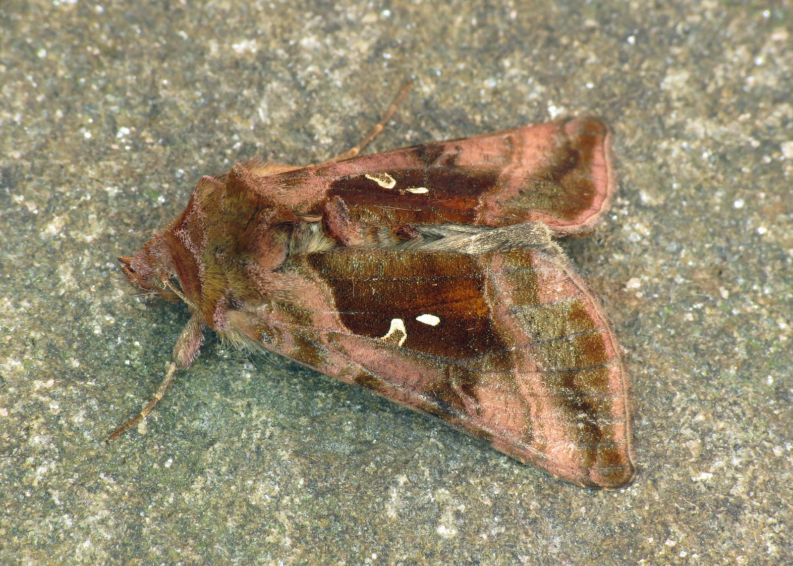 2443 Plain Golden Y - Autographa jota