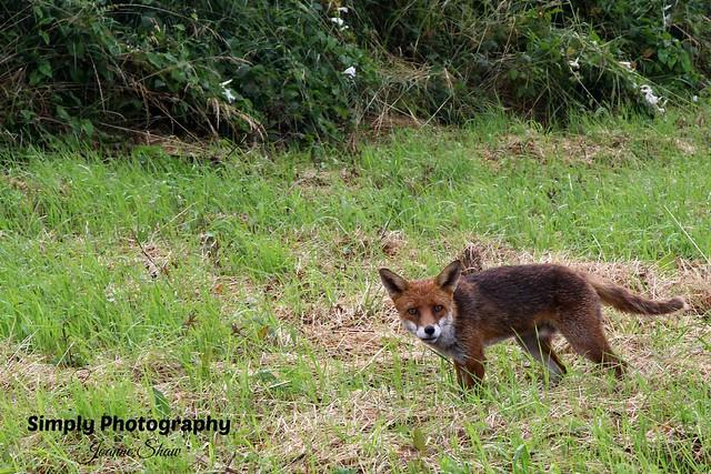 IMG_2479EN Fox