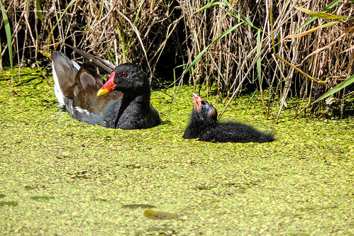Ignoring The Nagging Of The Little Moorhen