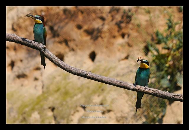 guepiers d'Europe - Merops apiaster - European Bee-eater