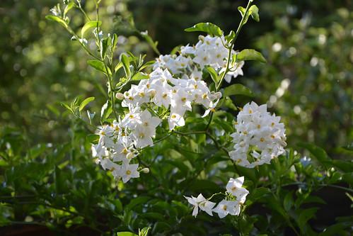 Solanum jasminoides - faux-jasmin 14771263385_96ae7c050b