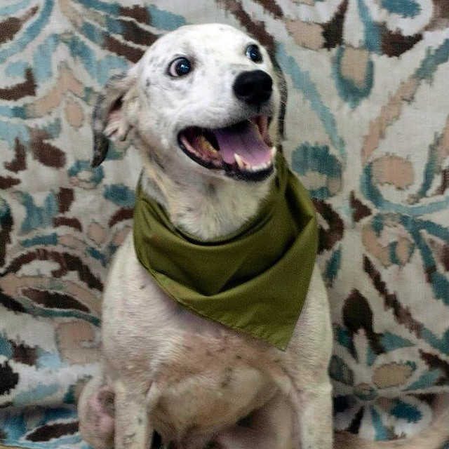 URGENT #OwnerSurrender 8-20-14 #ADOPTABLE #Lillington #NC #Dalmatian #Beagle mix 13yr male Friendly, sweet 910-814-2952 FRIENDS OF THE HARNETT COUNTY AS https://m.facebook.com/story.php?story_fbid=738232529577569&id=160021327398695