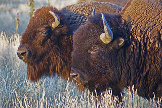 Bison Bison | by USFWS Mountain Prairie