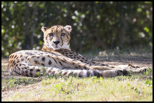 Lazing Cheetah