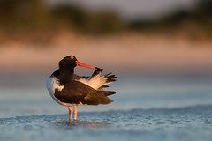 American Oystercatcher by PeterBrannon