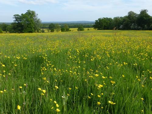 Buttercup meadow, Tandridge Earlswood to Otford walk
