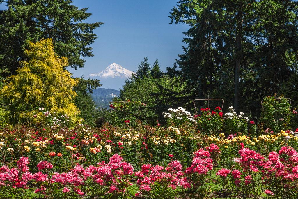 Mt Hood International Rose Garden Washington Park Portla Flickr