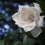 #くちなし の 白い花だよ。 #梔 #クチナシ #武蔵関公園