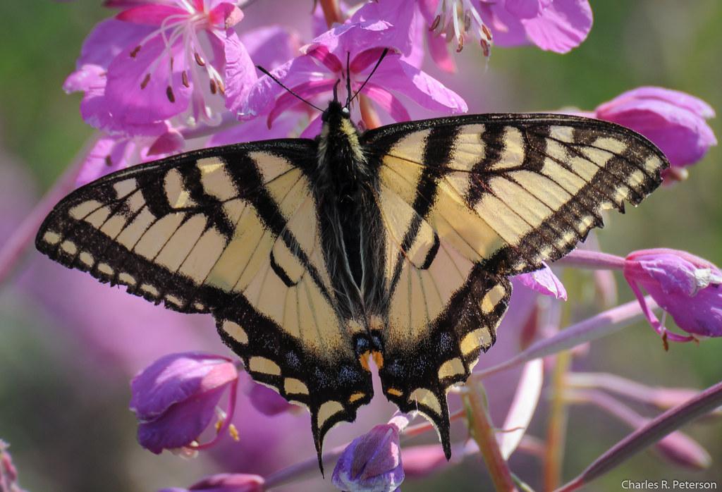 Canadian Tiger Swallowtail Butterfly - Alaska   Richardson H