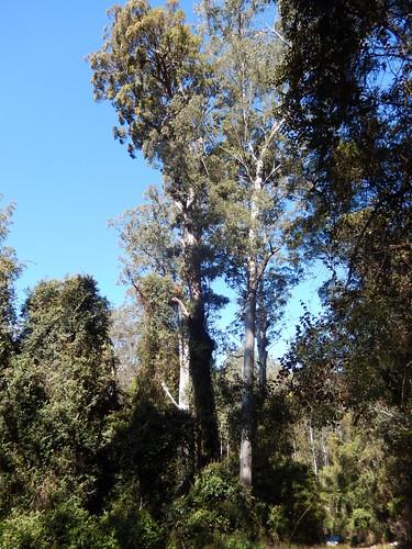 eucalyptus eucalyptussaligna eucalyptusmicrocorys tallowwood sydneybluegum myrtaceae bulgaforest tirrellcreek bluemountaincreekroad greatdividingrange isbn0730556492 warmtemperaterainforest eucalyptusinrainforest warmtemperatearf marginalarf arfp nswrfp qrfp schizomeriaovata cunoniaceae outdoor tree plant oldgrowthforest tirrillcreekflorareserve australiasbiggesttrees