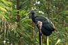 Green Ibis at Tortuguero by zimbart