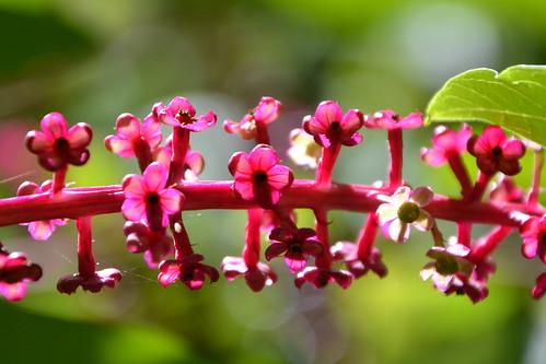 Phytolacca americana - raisin d'Amérique 32124023823_e37b3bf2b5