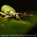 Green Leaf Weevil