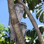 Tawny frog mouths