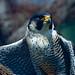 Flickr photo 'Peregrine Falcon (Falco peregrinus)(captive specimen)' by: berniedup.