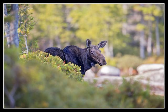 Maine Moose 2014