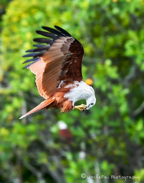 Brahminy Kite midair snacking