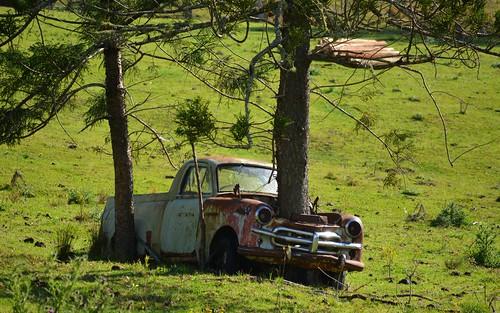 australia ute nsw australianlandscape paddock sherwood abandonedcar araucariaceae ruralaustralia northernrivers araucariacunninghamii richmondvalley hooppines treeinenginebay abandonedute