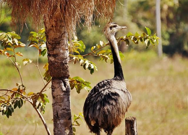 Rhea By Palm Tree