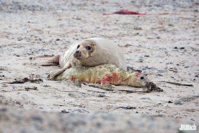 Seal pup, Robbenbaby, grey seal, Kegelrobbe, Halichoerus grypus @ Helgoland, Heligoland in december 2016