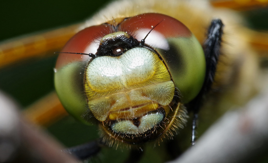 Four-Spotted Skimmer Dragonfly Portrait