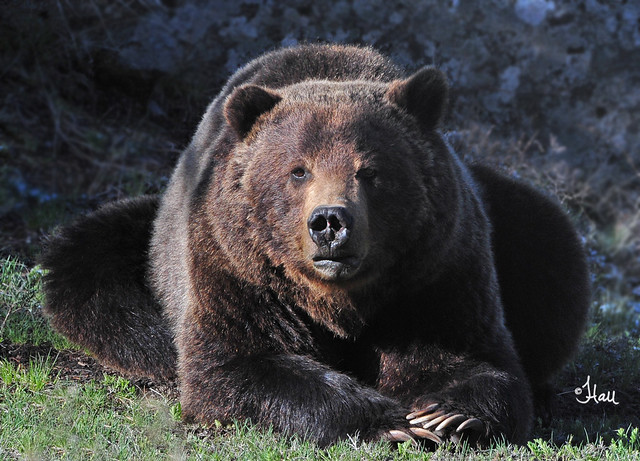Resting Grizzly Bear - 4503b2