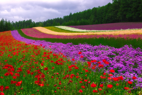 morning flowers summer nature japan colorful hokkaido cloudy 北海道 fields 夏 furano 2014 富良野 ファーム富田 farmtomita 花畑 arcreyes