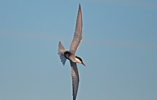 Whiskered Tern | by Brett Backhouse