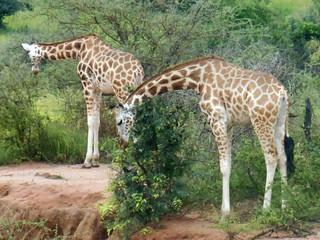 giraffes 2 jake