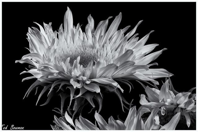 Sunflowers, B&W