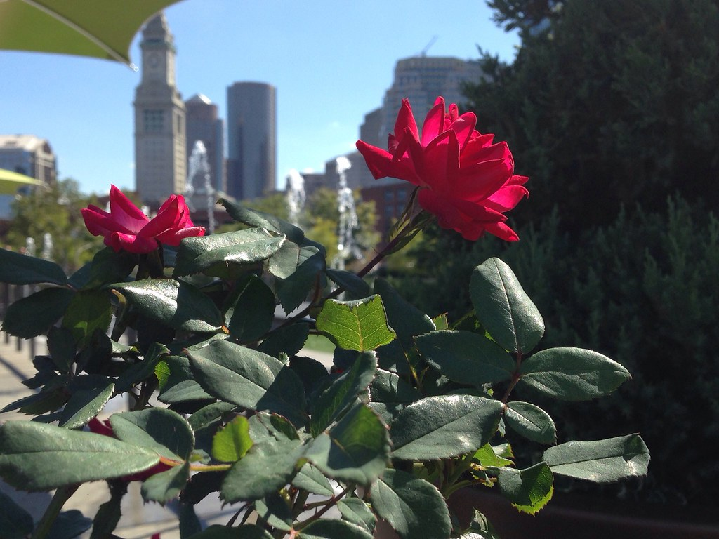 Boston - The Greenway - The Custom House beyond the Rose.