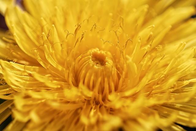 Heart of dandelion - Coeur de pissenlit