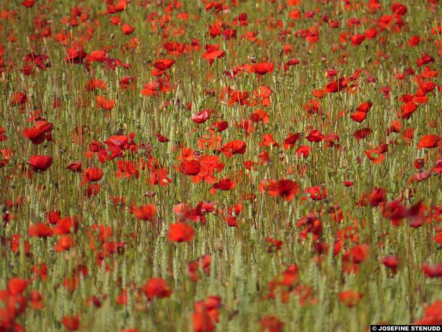 20150704_09 A field of poppies & wheat - closer zoom, landscape orientation | Ekstakusten, Gotland, Sweden
