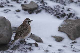 Snow Day Horned Lark | by Clare Kines Photography