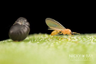 Unknown pupa with winged ant - DSC_9421
