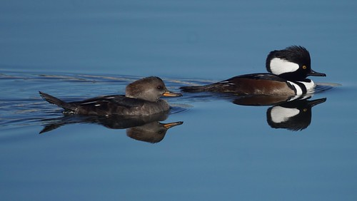 Hooded mergansers   by Mike's Birds