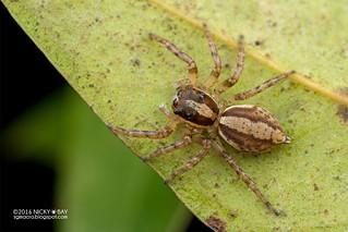 Jumping spider (Pristobaeus sp.) - DSC_2374