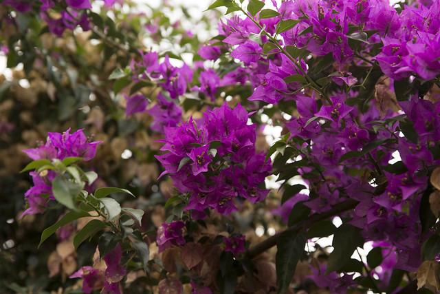 Bougainvillea from Capri
