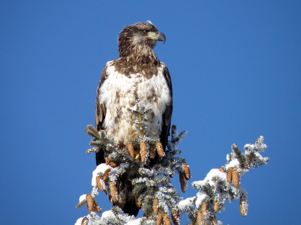 P1120262...bald eagle