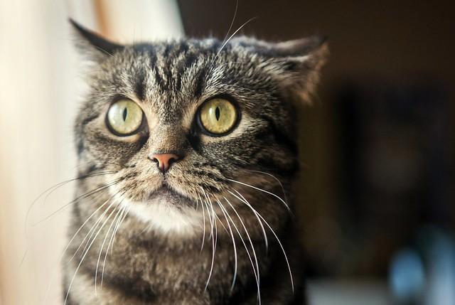 Owl cat hybrid