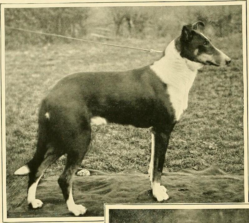 Collie, Smooth - Dog Scanner