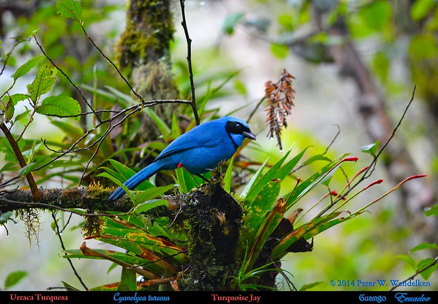 TURQUOISE JAY Cyanolyca turcosa on Bromeliad at Guango on the East Slope of the Andes in northern Ecuador. Jay Photo by Peter Wendelken.