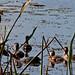 Flickr photo 'Ruddy Duck (Oxyura jamaicensis)' by: Mary Keim.