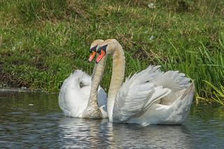 Swan 006 | by richardf55