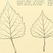 """Image from page 327 of """"Cyclopedia of American horticulture, comprising suggestions for cultivation of horticultural plants, descriptions of the species of fruits, vegetables, flowers and ornamental plants sold in the United States and Canada, together wi"""