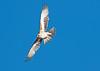 Little Eagle (Hieraaetus morphnoides) by Brett Backhouse