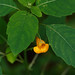 Balsamina Naranja - Photo (c) Tom Potterfield, algunos derechos reservados (CC BY-NC-SA)